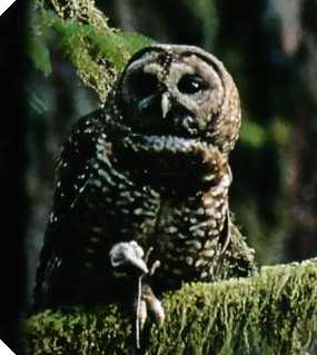 The spotted owl: endangered in droves